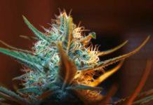 Marihuana Memoria a Corto Plazo
