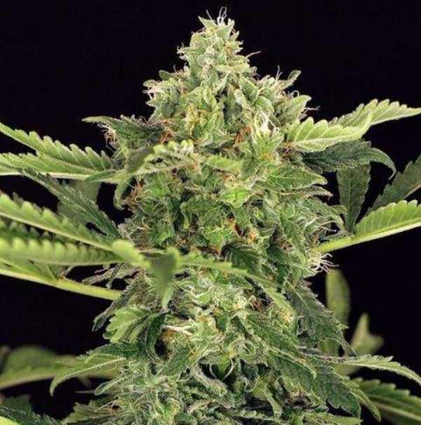 Semilla de Marihuana Mango Cream Auto del banco Exotic Seed