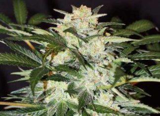 Semilla de Marihuana Monster Mash Auto del banco Exotic Seed