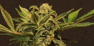 Semilla de Marihuana Russian Automatic del banco Exotic Seed