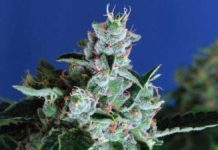 Semilla de Marihuana Sir Jack Auto del banco Exotic Seed