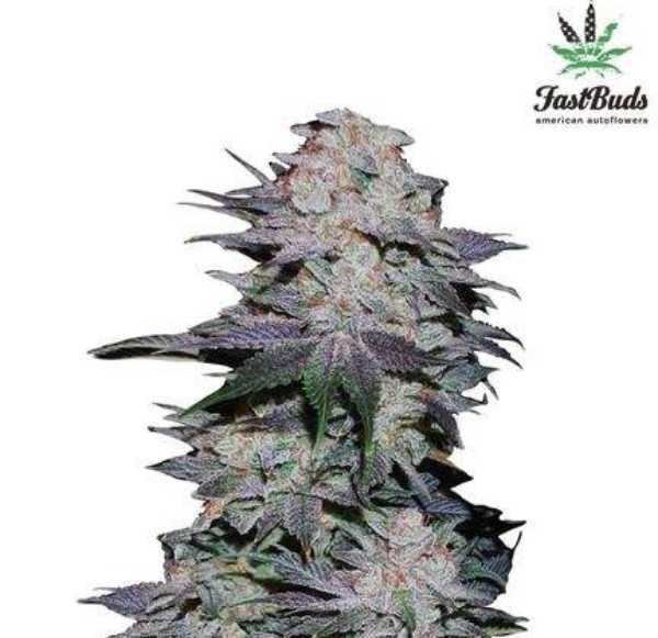 Semilla de Marihuana Blackberry Auto del banco HomeGrown Fantaseeds