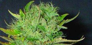 Semilla de Marihuana Afghani del banco HomeGrown Fantaseeds