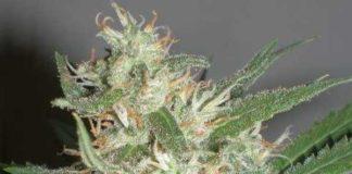 Semilla de Marihuana Amazing Haze del banco HomeGrown Fantaseeds