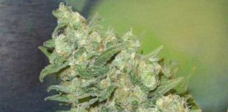 Semilla de Marihuana Armageddon del banco HomeGrown Fantaseeds