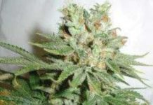 Semilla de Marihuana Blue Haze del banco HomeGrown Fantaseeds