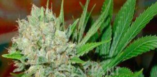 Semilla de Marihuana Blue Pearl Auto del banco HomeGrown Fantaseeds