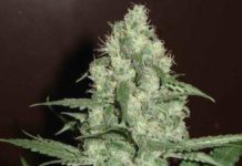 Semilla de Marihuana Homegrown Cheese del banco HomeGrown Fantaseeds