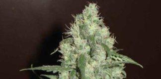Semilla de Marihuana Homegrown Cheese del banco HomeGrown Fantaseeds