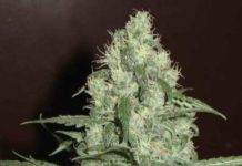 Semilla de Marihuana Homegrown Cheese Auto del banco HomeGrown Fantaseeds