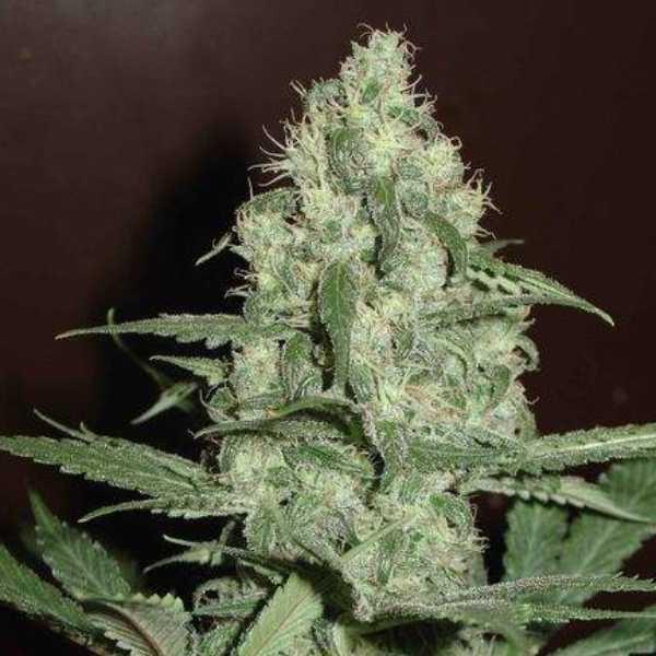 Semilla de Marihuana Homegrown Cheese Auto del banco HomeGrown Fantaseeds