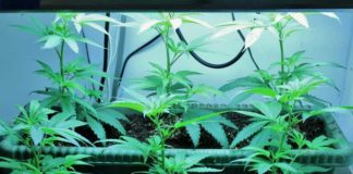 Cepas de Marihuana Clonadas - Clones de Marihuana