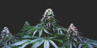 ¿Cómo hacer que los cogollos de marihuana crezcan más rápido?