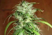 Semilla de Marihuana Haze del banco HomeGrown Fantaseeds
