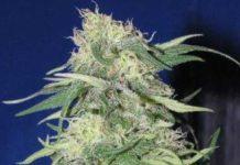 Semilla de Marihuana K2 del banco HomeGrown Fantaseeds