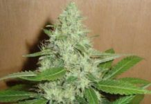 Semilla de Marihuana Mango del banco HomeGrown Fantaseeds