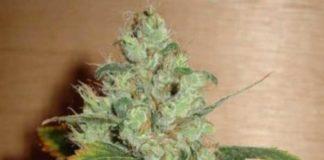 Semilla de Marihuana Masterkush del banco HomeGrown Fantaseeds