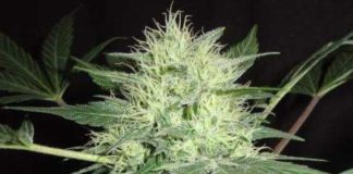 Semilla de Marihuana Northern Light del banco HomeGrown Fantaseeds