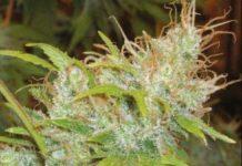 Semilla de Marihuana Orange Delight del banco HomeGrown Fantaseeds