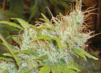 Semilla de Marihuana Orange Delight del banco HomeGrown Fantaseeds