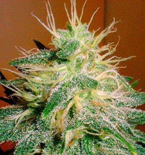 Semilla de Marihuana Skunk #1 del banco HomeGrown Fantaseeds