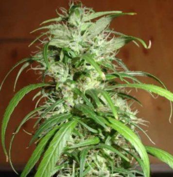 Semilla de Marihuana SPR Haze del banco HomeGrown Fantaseeds
