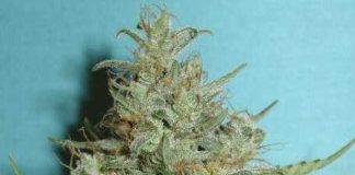 Semilla de Marihuana Super Crystal del banco HomeGrown Fantaseeds