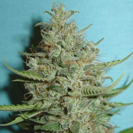 Semilla de Marihuana Super Crystal del banco HomeGrown Fantaseeds