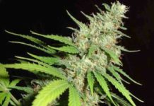 Semilla de Marihuana Top 44 del banco HomeGrown Fantaseeds