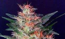 Semilla de Marihuana White Widow del banco HomeGrown Fantaseeds