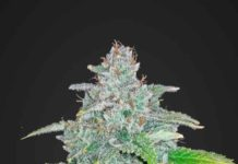 Semilla de Marihuana Blue Dream Matic del banco Fastbuds