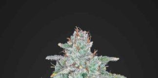 Semilla de Marihuana Blue Dream Matic del banco Fastbuds