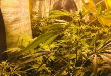 Cultivo Marihuana Seguro - Seguridad en el Cultivo de Marihuana