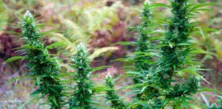 Cáñamo y Marihuana Diferencias entre Ambos