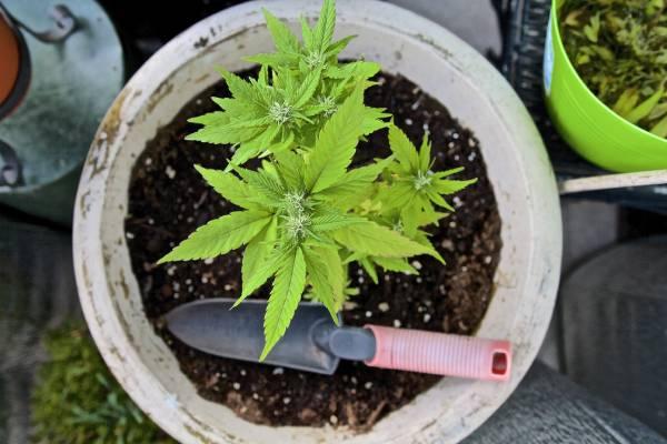 Falsedades sobre el Uso de la Marihuana