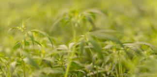 Cultivo de las mejores Semillas de Marihuana Vs Clones de Marihuana