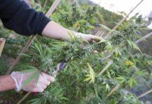 Deficiencias de Nutrientes de la Planta de Marihuana