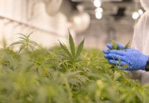 Cómo no Estresar a las Plantas de Marihuana