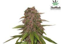 Semilla de Marihuana C4 Matic del banco Fastbuds