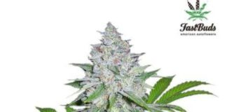 Semilla de Marihuana Californian Snow del banco Fastbuds