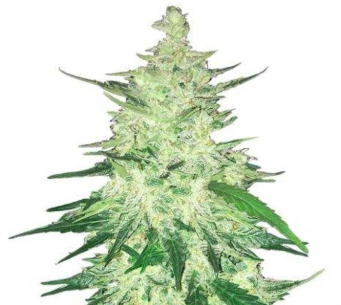 Semilla de Marihuana CBD Crack Auto del banco Fastbuds