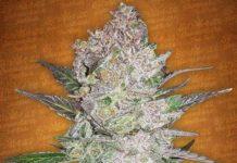 Semilla de Marihuana Cream Cookies del banco Fastbuds