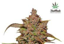 Semilla de Marihuana Crystal Meth del banco Fastbuds