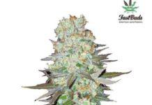 Semilla de Marihuana G14 del banco Fastbuds