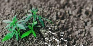 Aumentar el CBD en las Plantas de Marihuana