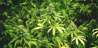 Cosechar las Plantas de Marihuana de una Forma más Rápida