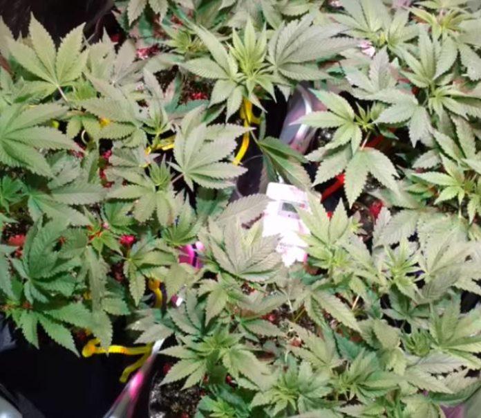 Cómo Ayudar a las Plantas de Marihuana Durante un Apagón