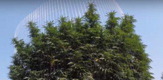 Cómo Ayudar a las Plantas de Marihuana Demasiado Altas