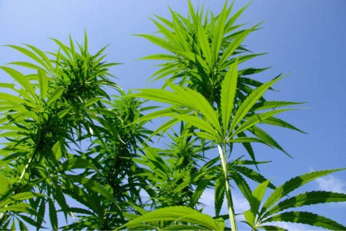 ¿Qué Altura tendrá mi Planta de Marihuana?