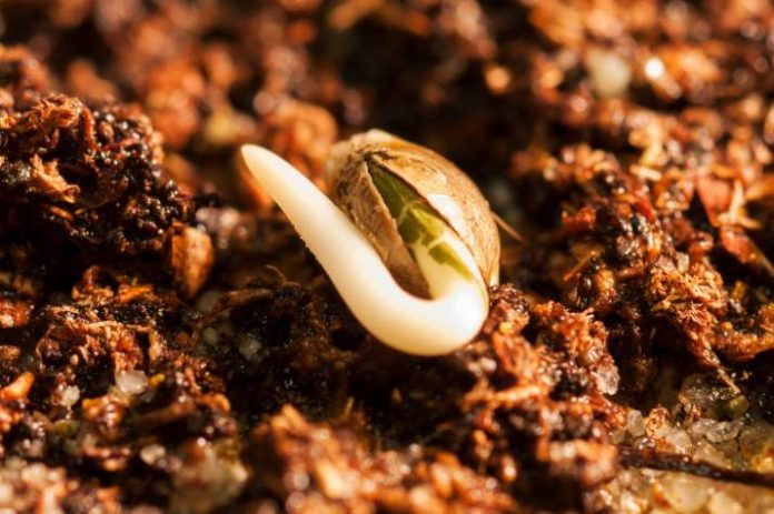 Consejos para Cultivar Semillas de Marihuana Germinadas